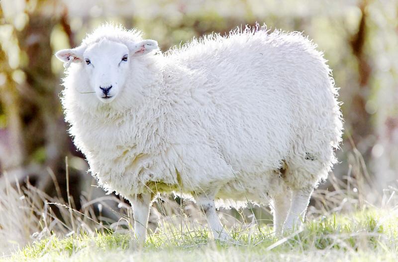 シェットランド羊